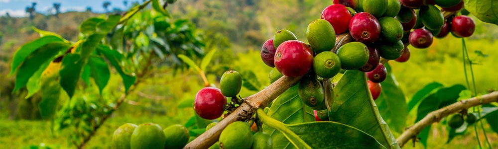 Why Small Coffee Farmers Need to Belong to ISEAL